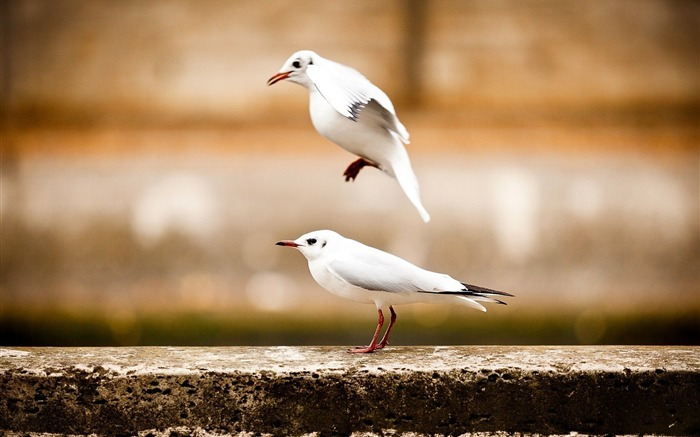 two birds seagulls-Animal photo wallpaper Views:1402