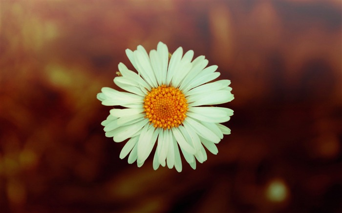 white daisy photo-Flowers HD Wallpaper Views:3166