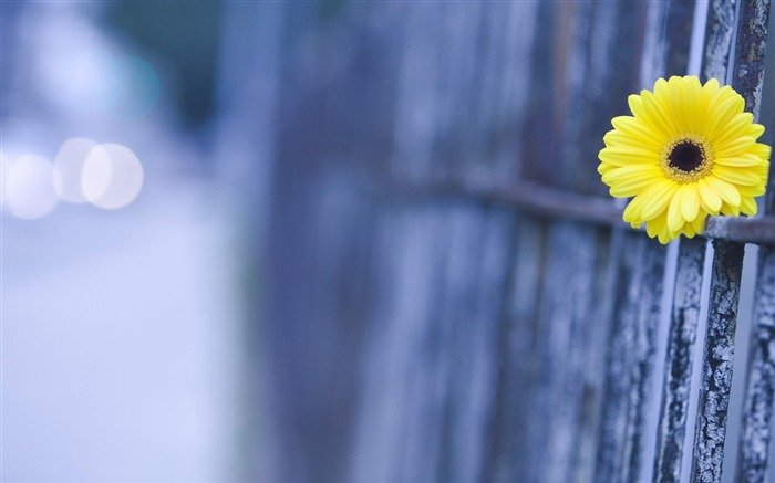 yellow fence-Flowers HD Wallpaper Views:1752