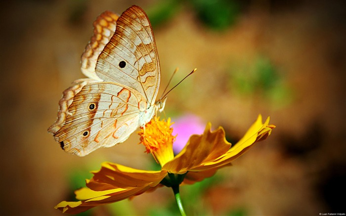 Butterfly Flowers-Animal Photo Wallpaper Views:2818