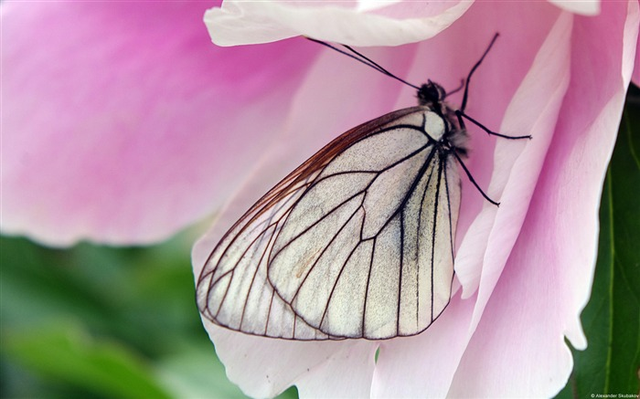 Butterfly Flowers Pink-Animal Photo Wallpaper Views:2892