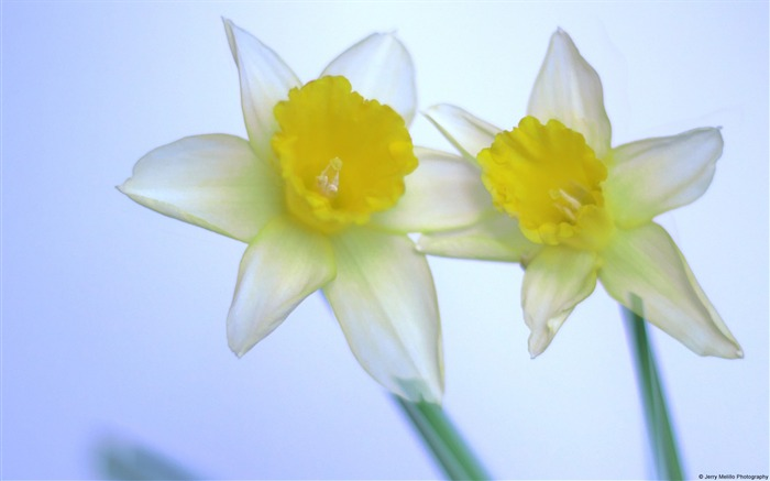 Narcissus-Windows Photo Wallpaper Views:1820