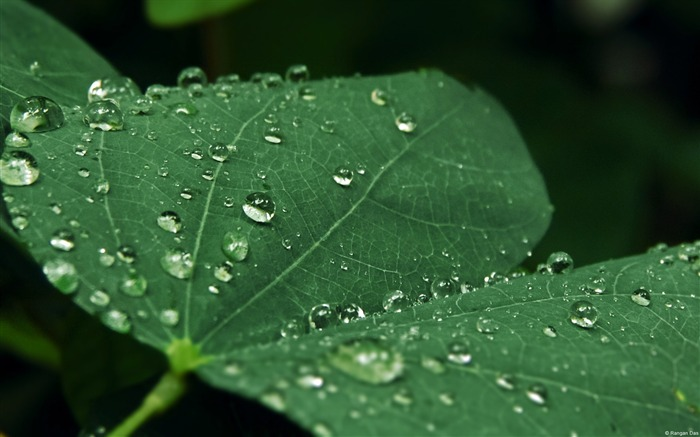 Raindrops on leaves-Windows Photo Wallpaper Views:1803