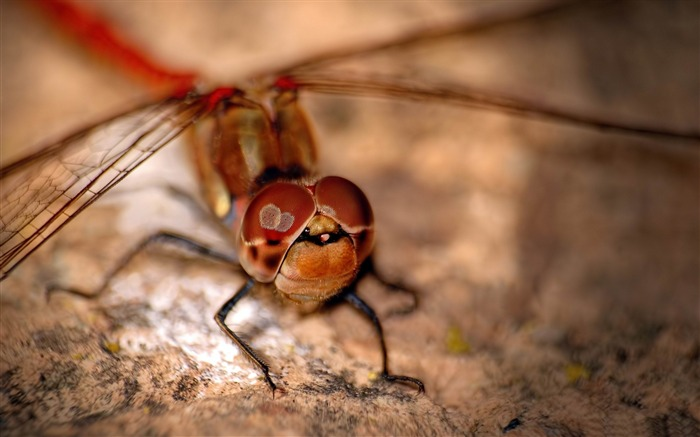 Red Dragonfly-Animal HD Wallpaper Views:3766