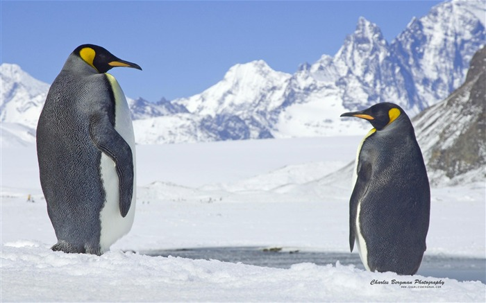 Two penguins-Animal Photo Wallpapers Views:2851