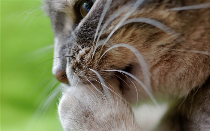 cat cleaning-Animal HD Wallpaper Views:3791