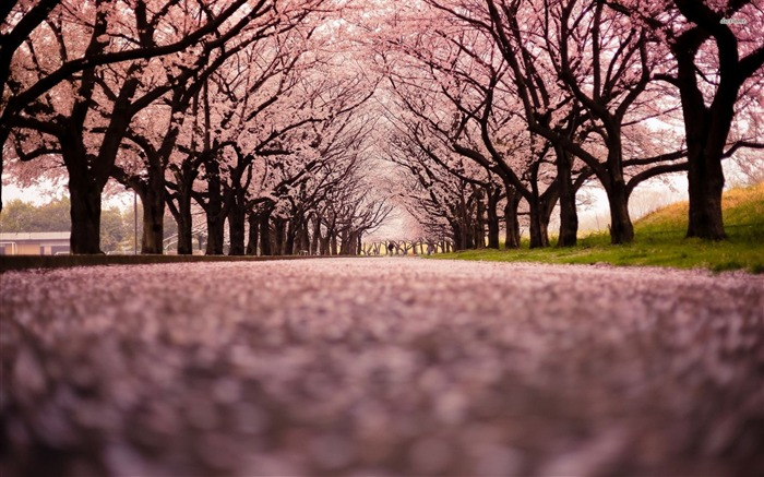 Cherry Blossom Tree-landscape photo wallpaper Views:2835