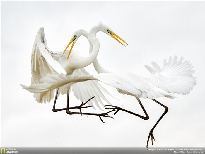 Great white Egrets-National Geographic Wallpaper Views:4835 Date:7/22/2014 8:41:46 AM