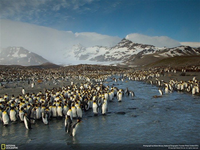 Penguins at Saint Andrews Bay-National Geographic Wallpaper Views:4268 Date:7/22/2014 8:46:44 AM