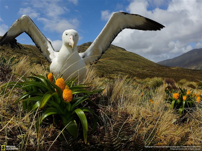 Southern Royal Albatross-National Geographic Wallpaper Views:4194 Date:7/22/2014 8:47:34 AM