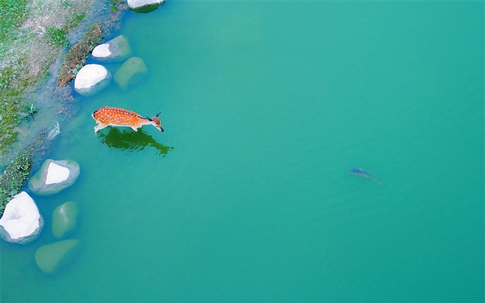 deer in a pond-High quality wallpaper Views:5242