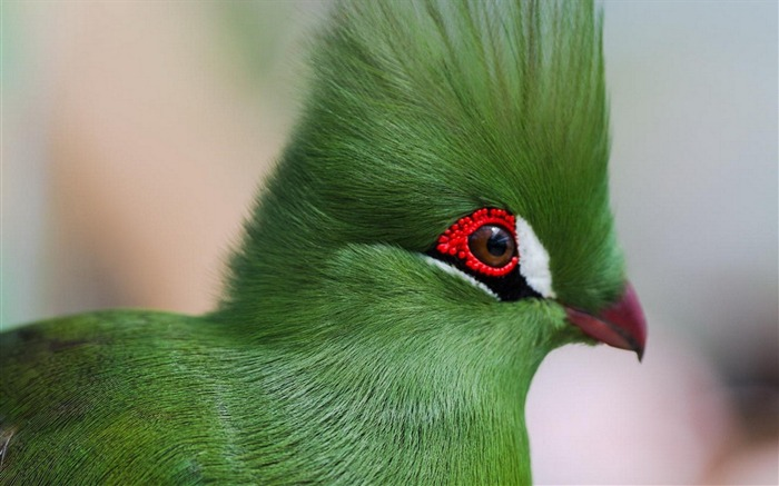 guinea turaco poultry-Animal Photo Wallpaper Views:3092