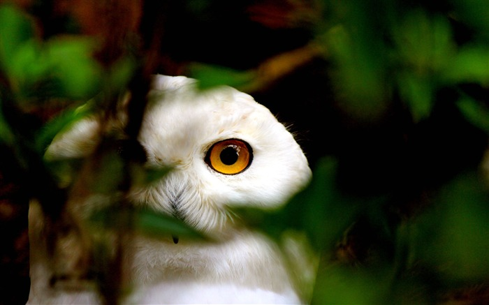 Snowy Owl Eyes-Animal photo wallpaper Views:3260 Date:8/4/2014 8:49:05 AM