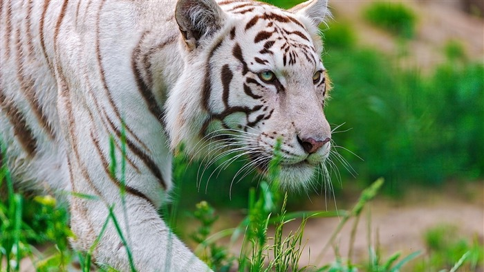 Title:White Tiger-Animal Photo Wallpaper Views:915