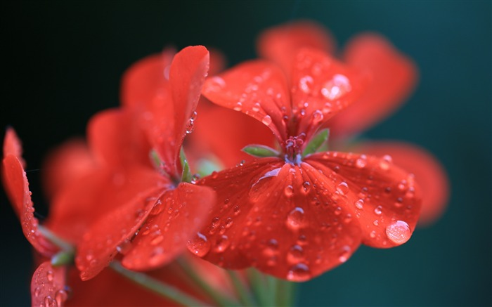 geranium red drops-Plants HD Wallpapers Views:2620