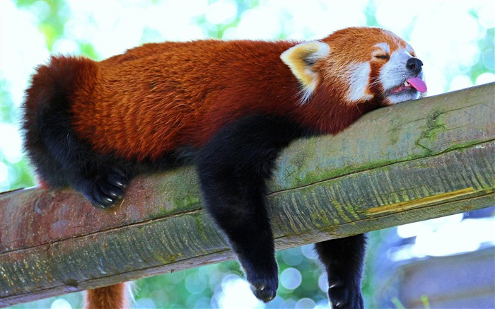 red panda rest sleep-Animal photo wallpapers Views:5646 Date:8/4/2014 8:42:49 AM