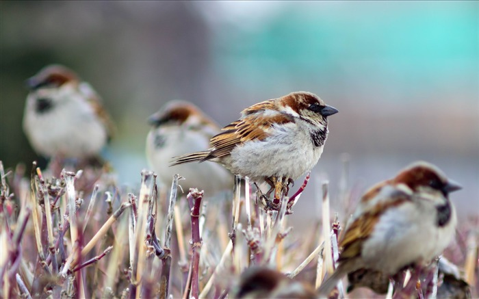 sparrows birds winter-Animal photo wallpaper Views:5636 Date:8/4/2014 8:50:08 AM