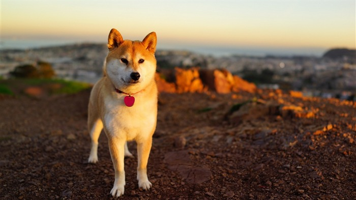 Akita Inu-Animal photo wallpaper Views:5889
