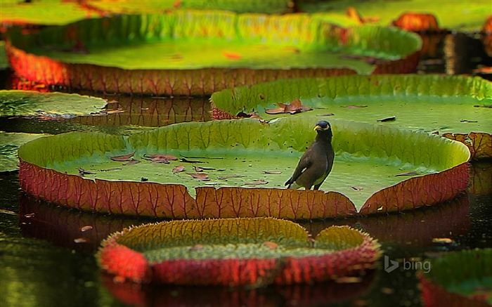 Birds on a lotus leaf-Bing theme wallpaper Views:2048