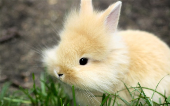 Cute Fluffy Bunny-Animal photo wallpaper Views:3807