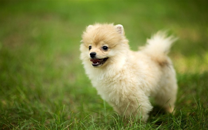 Cute Pomeranian Dog-Animal photo wallpaper Views:3686