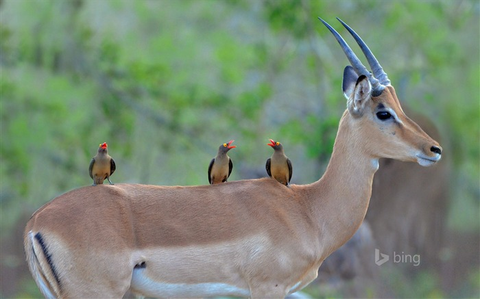 Goat back birds-Bing theme wallpaper Views:3892