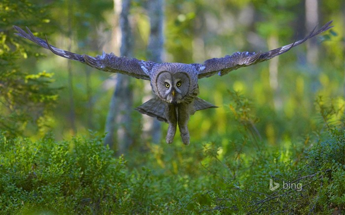 Owl in flight-Bing theme wallpaper Views:1877