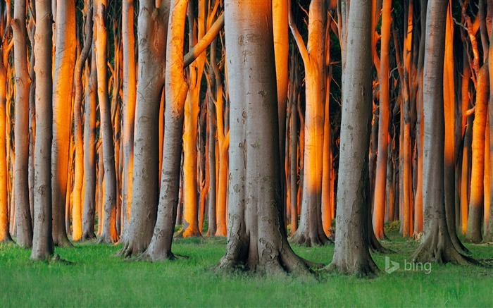 Tall trees-Bing theme wallpaper Views:4302