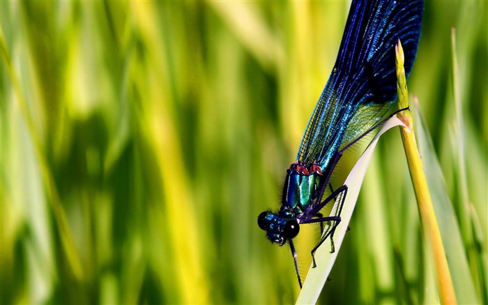 blue dragonfly-Animal photo wallpapers Views:3101