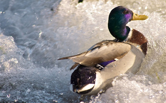 freezing river duck-Animal photo wallpapers Views:3488