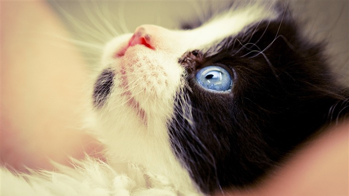 kitten with blue eyes-Animal photo wallpaper Views:2726