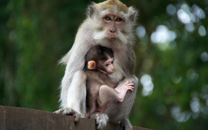 monkey with cub-Animal photo wallpaper Views:2951