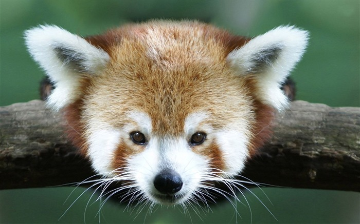 red panda-Animal photo wallpapers Views:3406