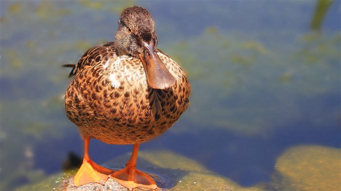river duck-Animal photo wallpapers Views:2379