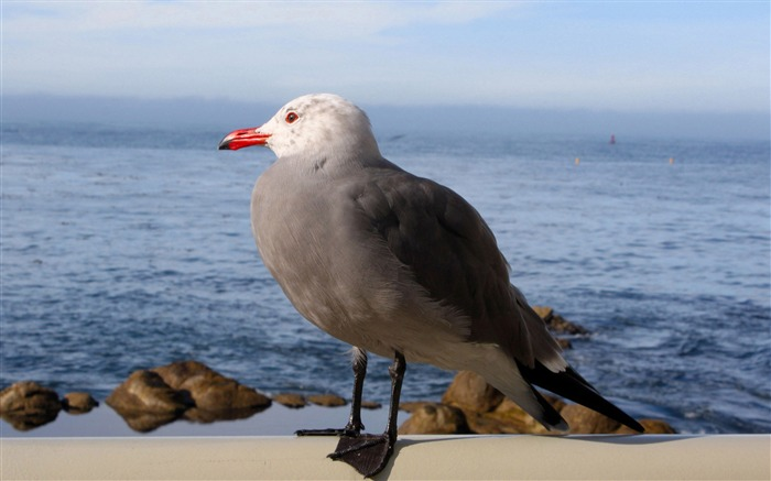 seagull-Animal photo wallpapers Views:2131