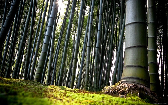 Bamboo Forest-High quality HD Wallpaper Views:6254 Date:10/16/2014 7:58:05 AM