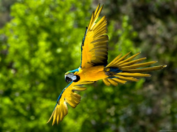 Flying Parrot-Photo HD Wallpaper Views:4050 Date:10/12/2014 6:57:57 PM