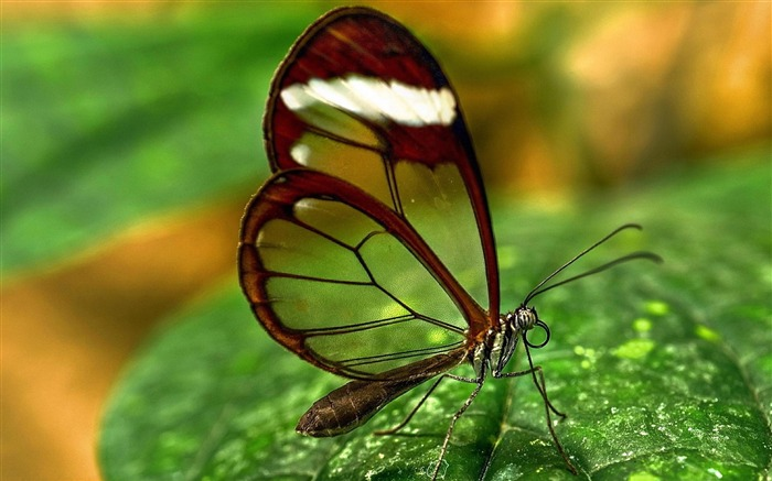 Transparent Butterfly-Photo HD Wallpaper Views:5816 Date:10/12/2014 7:04:28 PM