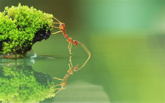 Ant Drinking Water-High quality HD Wallpaper Views:3406