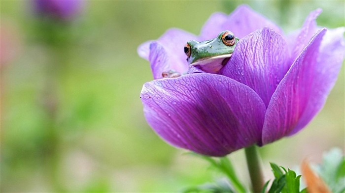 Frog On Purple Flower-2014 high quality Wallpaper Views:2040