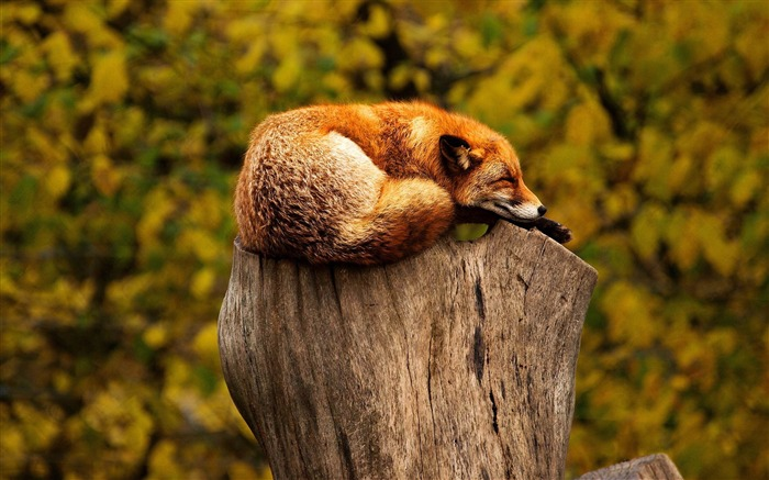 Sleeping Red Fox-Animal Photo Wallpaper Views:3874 Date:11/3/2014 6:06:20 AM