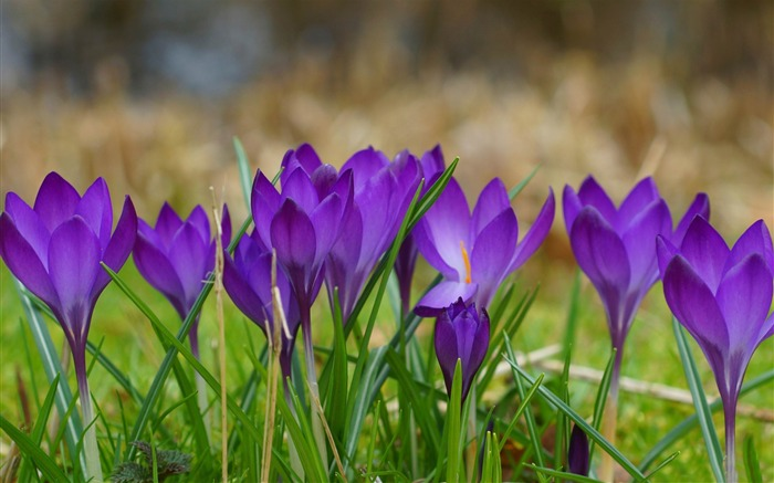 a clump of crocuses-2014 high quality Wallpaper Views:2594