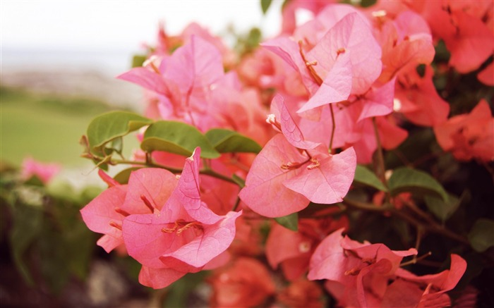 bougainvilleas in kapalua-2014 high quality Wallpaper Views:2779