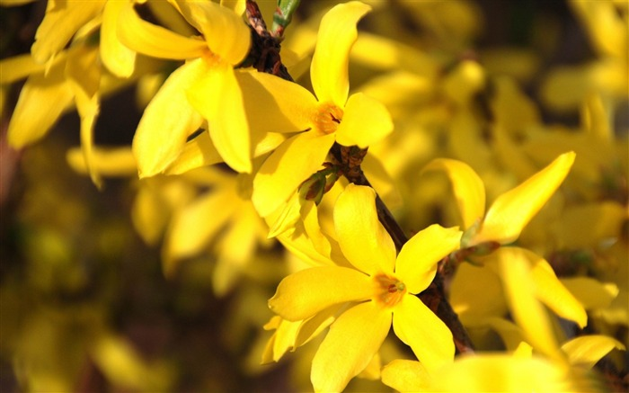 flower forsythia-2014 high quality Wallpaper Views:2621