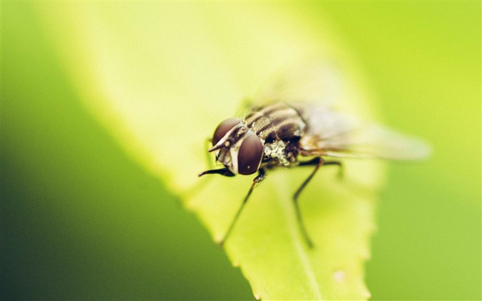 fly insect hd-Animal Photo Wallpaper Views:3389