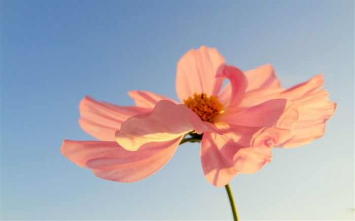 pink petals in sunlight-2014 high quality Wallpaper Views:2873