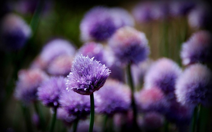 purple flowers-2014 high quality Wallpaper Views:2130
