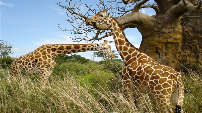 African Giraffe-High Quality HD Wallpaper Views:3877 Date:12/24/2014 7:15:14 AM