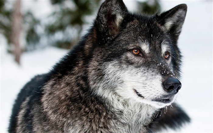 Black Snow Wolf-High Quality HD Wallpaper Views:6150 Date:12/24/2014 7:13:01 AM
