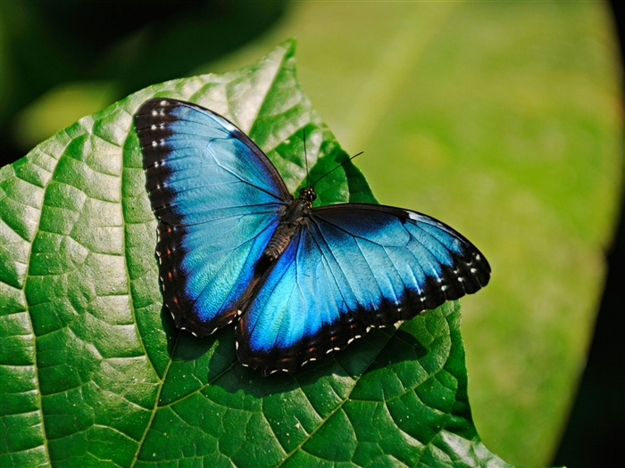 Blue Morpho Butterfly-High Quality HD Wallpaper Views:8377 Date:12/24/2014 7:17:36 AM